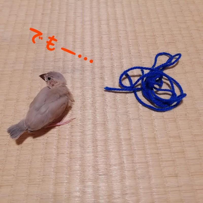 桜文鳥 ヒナ でも 毛糸 遊ぶ 写真 画像 渋る 丸い