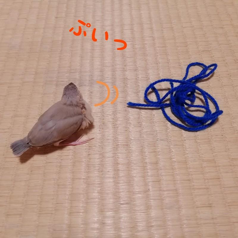 桜文鳥 ヒナ ぷい そっぽを向く 毛糸 遊ぶ 写真 画像 渋る 丸い