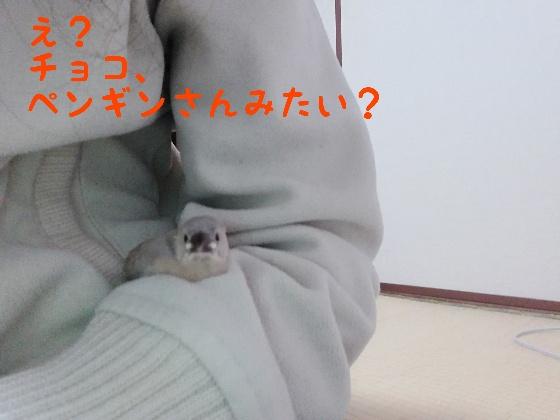 桜文鳥 ヒナ 手乗り 馴れてる かわいい 写真 画像 ペンギン 似てる