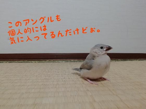 桜文鳥 ヒナ 横顔 決めポーズ かわいい 写真 画像