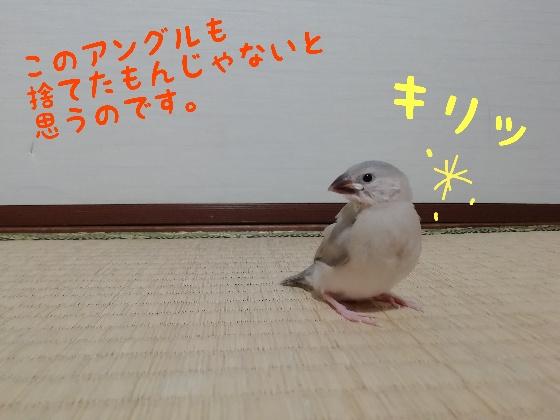 桜文鳥 ヒナ 決めポーズ かわいい 画像 写真