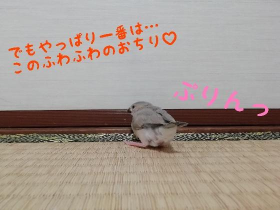 桜文鳥 ヒナ 決めポーズ かわいい 画像 写真 お尻