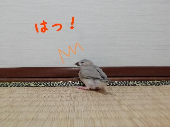 桜文鳥 ヒナ 決めポーズ お尻 かわいい ふわふわ ぷりん 後ろ姿 気づく 画像 写真