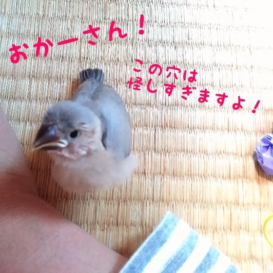 怪しい 報告 桜文鳥 ヒナ 穴 覗く 写真 画像