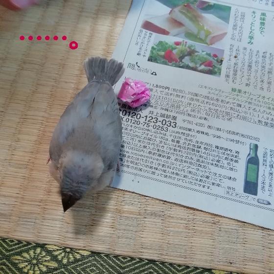 桜文鳥 ヒナ 考える 画像 写真 沈黙