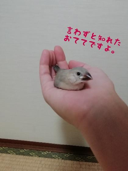 手乗り 桜文鳥 ヒナ 写真 画像 手