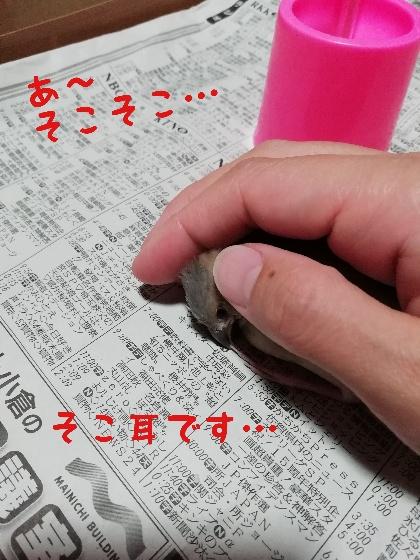 手乗り 桜文鳥 ヒナ 撫でる かわいい 画像 写真 耳