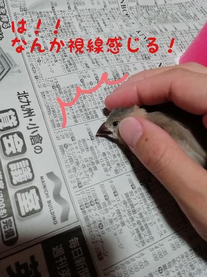 桜文鳥 ヒナ 気づく 撫でる かわいい 手乗り 写真 画像
