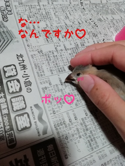 手乗り 桜文鳥 ヒナ 撫でる かわいい 画像 写真 照れる