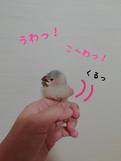 桜文鳥 ヒナ 手乗り 馴れてる かわいい 写真 画像 怖い
