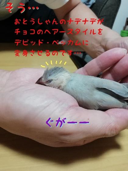 桜文鳥 ヒナ 手乗り 馴れてる かわいい 写真 画像 寝る 奇抜 ヘアスタイル ベッカム