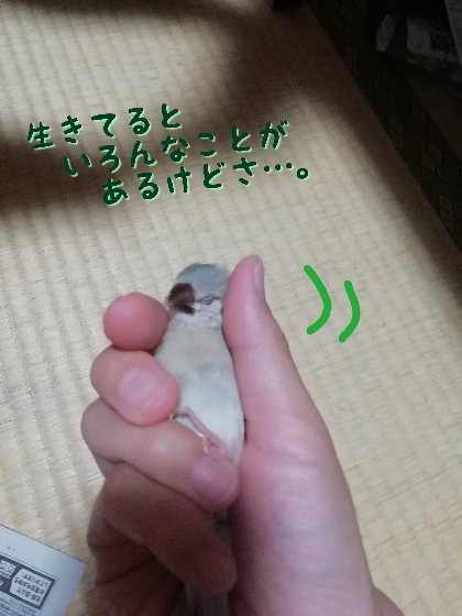 桜文鳥 ヒナ ニギゴロ にぎごろ 手乗り かわいい 馴れてる 写真 画像 気持ちいい
