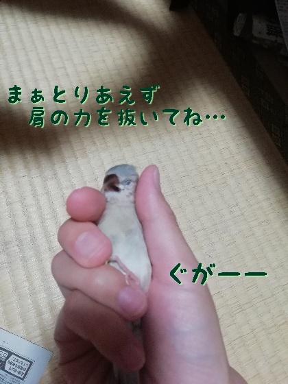 桜文鳥 ヒナ ニギゴロ にぎごろ 手乗り 寝る 馴れてる 写真 画像