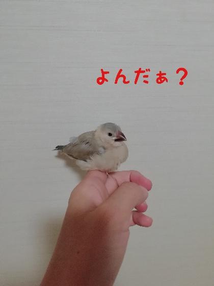 桜文鳥 ヒナ 手乗り 馴れてる かわいい 写真 画像