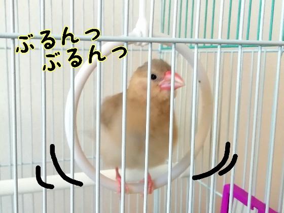 桜文鳥 文鳥 ひな ぶるんぶるん ぶるぶる 丸い かわいい 写真 画像