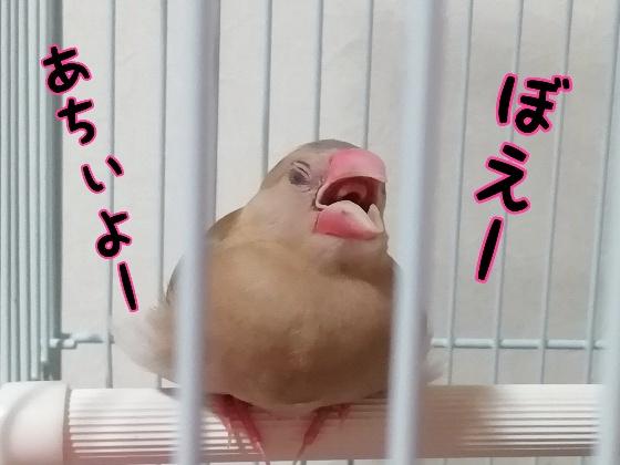 暑い 口を開ける 文鳥 鳥