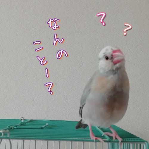 文鳥 桜文鳥 おとぼけ 写真 画像 おもしろい かわいい