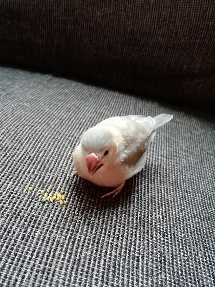 ごま塩文鳥 パイド 写真 画像 雛 かわいい 餌 食べる