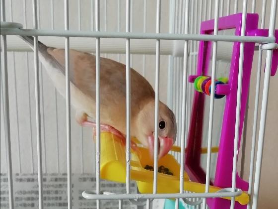 ごま塩文鳥 パイド 雛 写真 ご飯 画像 かわいい 幼鳥
