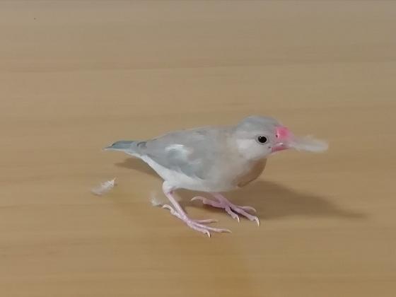 ごま塩文鳥 雛 幼鳥 羽毛 咥える 遊ぶ 画像 写真 くちばし ピンク