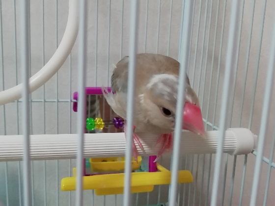 ごま塩文鳥 雛 幼鳥 頭 白 換羽 画像 写真 くちばし ピンク