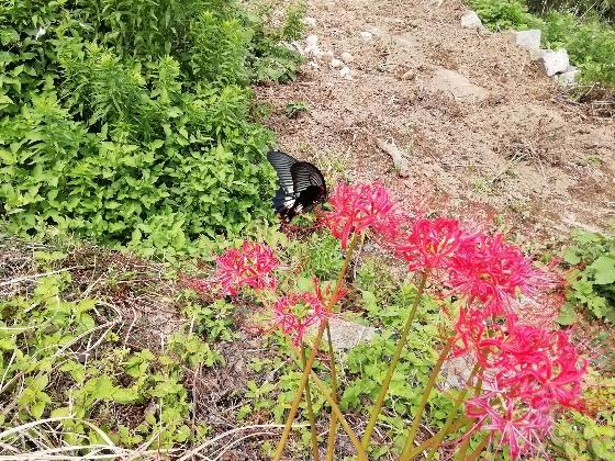 福岡 彼岸花 黒い蝶々 黒い蝶 美しい 写真 画像 山 森林