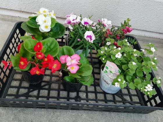 花 ベコニア なでしこ 苗 写真 かわいい 画像