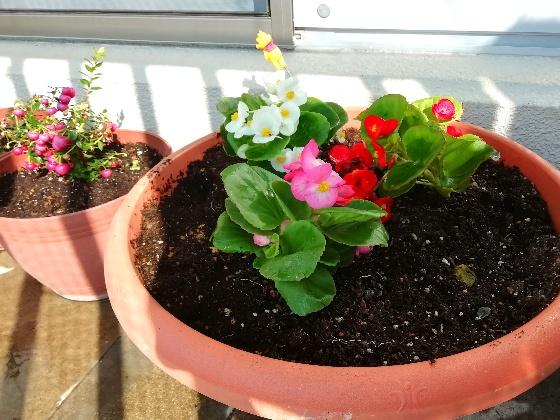 ベコニア 白 ピンク 赤 写真 画像 花