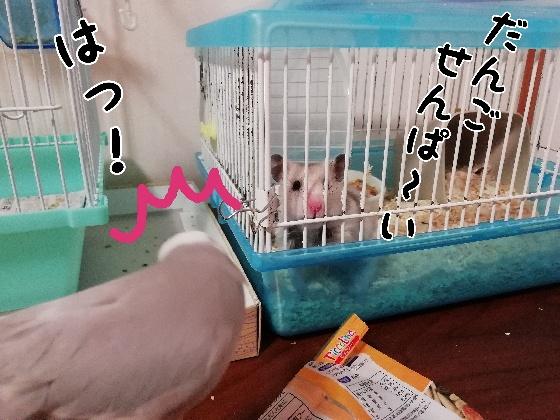 カラーハムスター ハムスター 対面 文鳥 ごま塩文鳥 画像 写真