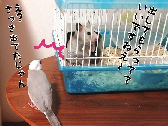 ハムスター カラーハムスター 文鳥 ごま塩文鳥 対面 写真 画像