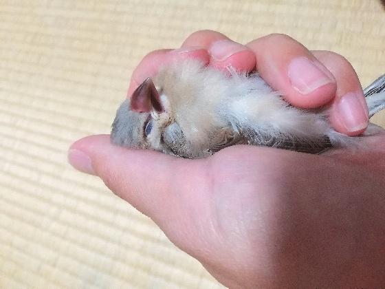 文鳥 雛 ニギコロ 画像 写真 かわいい ごま塩文鳥