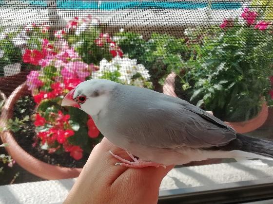ごま塩文鳥 文鳥 写真 画像 花 かわいい 美しい
