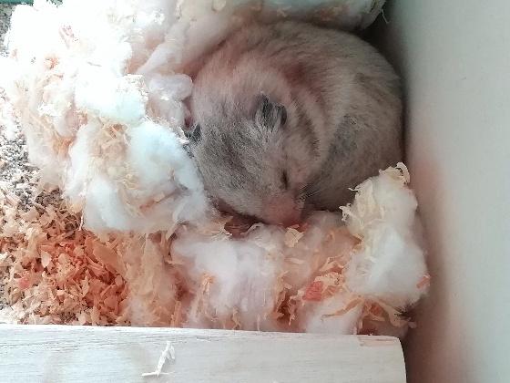 ハムスター カラーハムスター 寝る おやすみ 画像 写真 かわいい 丸い