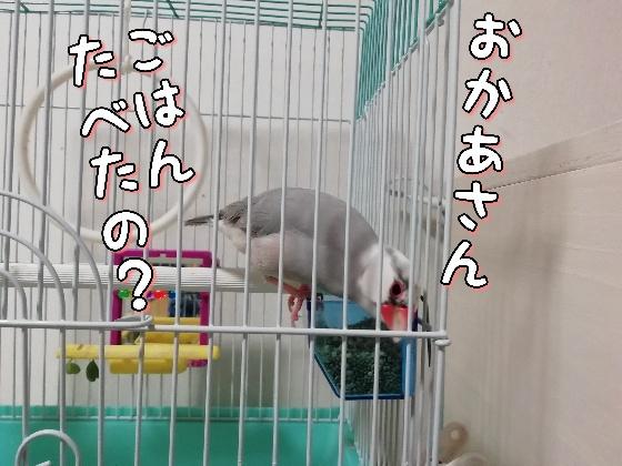文鳥 ごま塩文鳥 写真 画像 首をかしげる かわいい 鳥かご