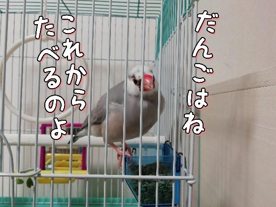 文鳥 ごま塩文鳥 写真 画像 かわいい 鳥かご