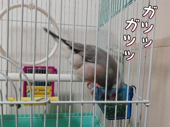 文鳥 ごま塩文鳥 餌 食べる 写真 画像 鳥かご 粟