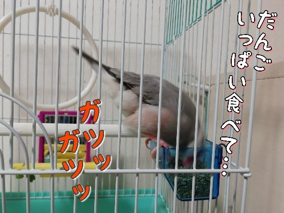 文鳥 ごま塩文鳥 写真 画像 餌 食べる 粟 かわいい 鳥かご