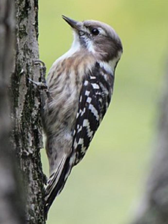 コゲラ キツツキ 画像 写真 ウィキペディア 野鳥