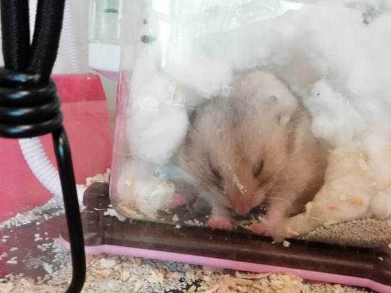 ハムスター 寝ぼける かわいい 面白い 写真 画像 押す
