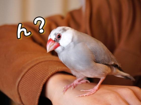 文鳥 ごま塩文鳥 かわいい 手乗り 画像 写真 動物