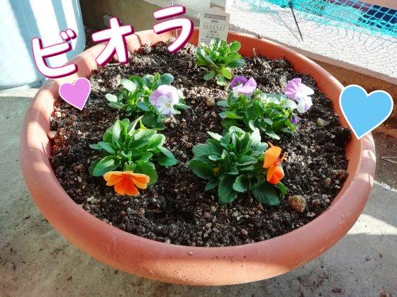 ビオラ 花 かわいい 春 冬 写真 画像 紫 オレンジ パンジー