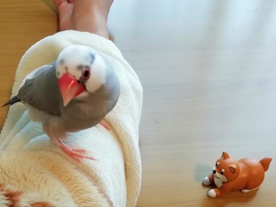 文鳥 プイ 柴犬 写真 画像 かわいい ごま塩文鳥
