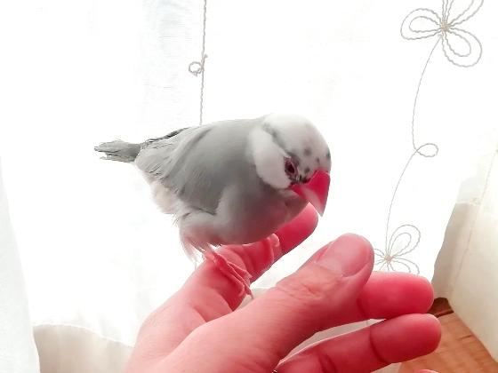文鳥 ごま塩文鳥 手乗り かわいい 写真 画像