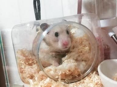 ハムスター 巣箱 ケージ かわいい 写真 画像 目が合う カラーハムスター