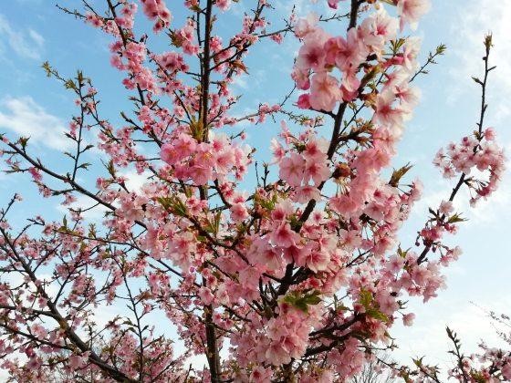 桜 画像 写真 きれい 美しい