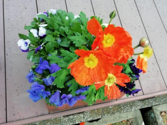 春 花 ポピー かわいい 写真 画像 オレンジ