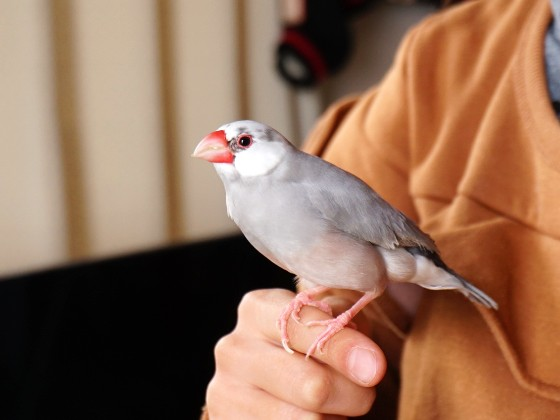 パイド文鳥 ごま塩文鳥 文鳥 かわいい 写真 画像