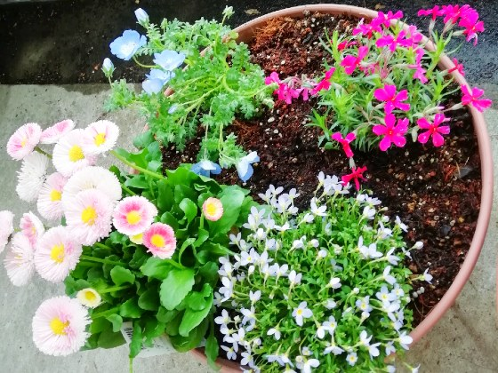 春 花 写真 芝桜 ネモフィラ デージー ひなそう 画像 きれい
