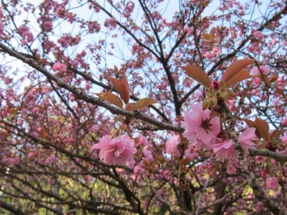 昭和の森キャンプ場 八重桜 写真 画像 福岡