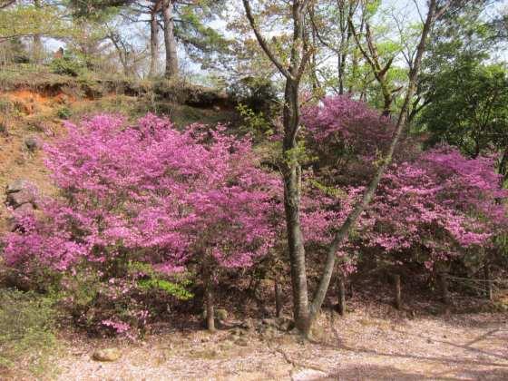 ミツバツツジ 写真 画像 春 ピンク きれい かわいい